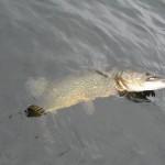 Pike out 2011, snoek van 86 cm